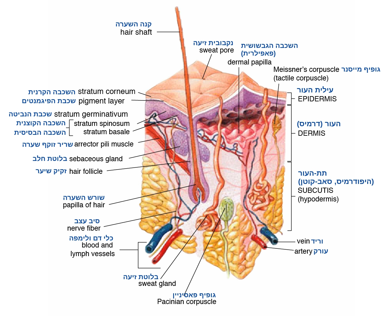 טיפול בגלי קול ממוקדים (HIFU/הייפו)